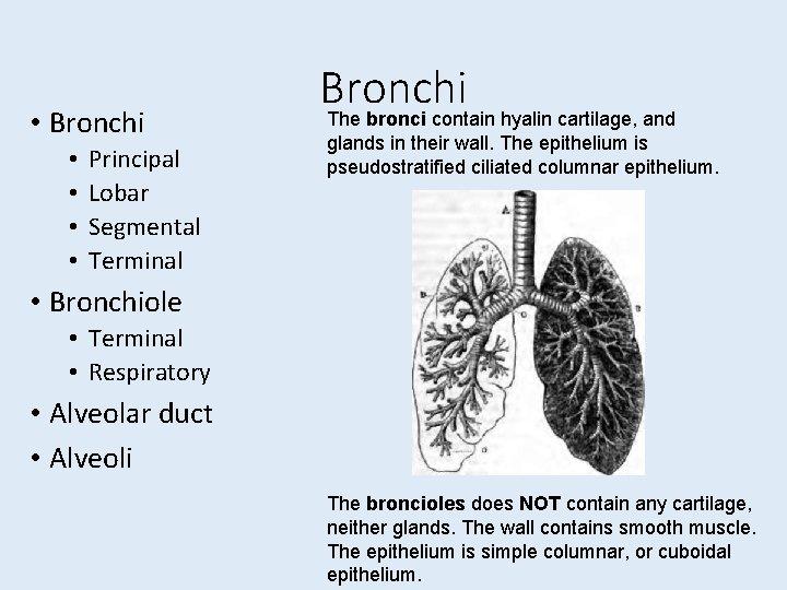 • Bronchi • • Principal Lobar Segmental Terminal Bronchi The bronci contain hyalin