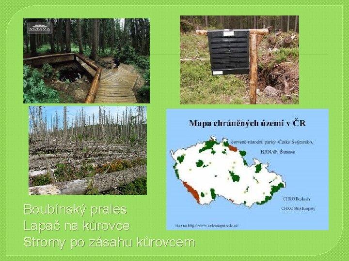 Boubínský prales Lapač na kůrovce Stromy po zásahu kůrovcem