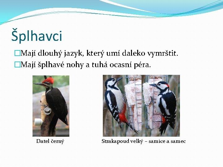Šplhavci �Mají dlouhý jazyk, který umí daleko vymrštit. �Mají šplhavé nohy a tuhá ocasní