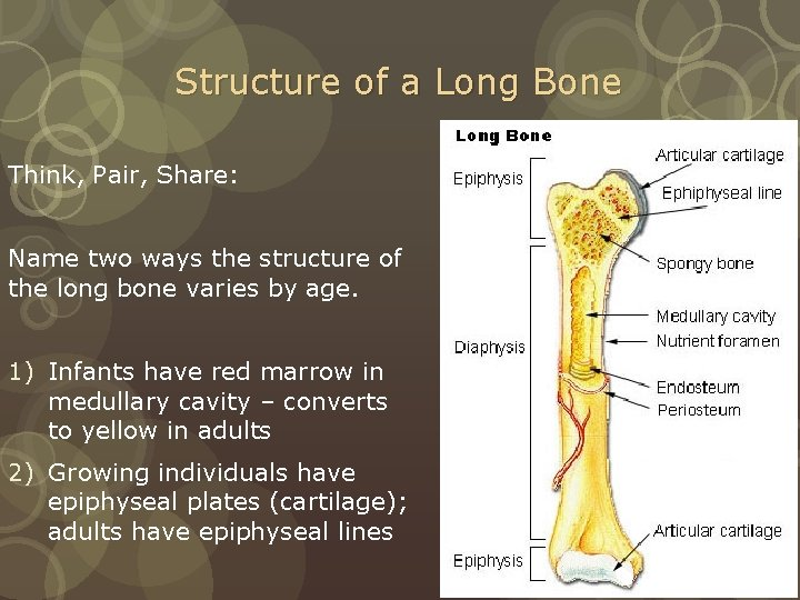 Structure of a Long Bone Think, Pair, Share: Name two ways the structure of