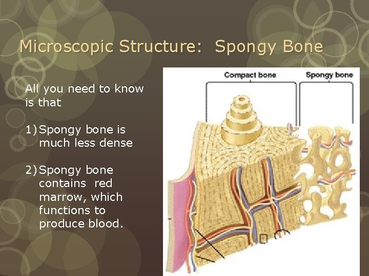 Microscopic Structure: Spongy Bone All you need to know is that 1) Spongy bone