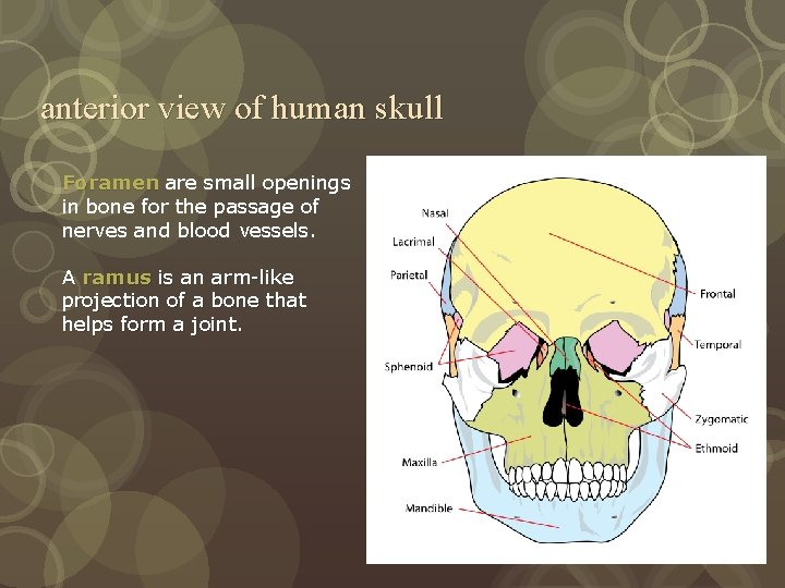 anterior view of human skull Foramen are small openings in bone for the passage