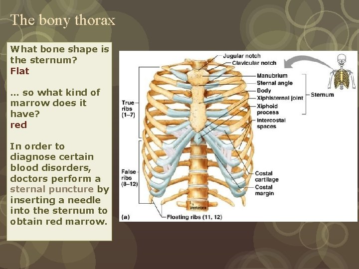 The bony thorax What bone shape is the sternum? Flat Consists of ribs, sternum,