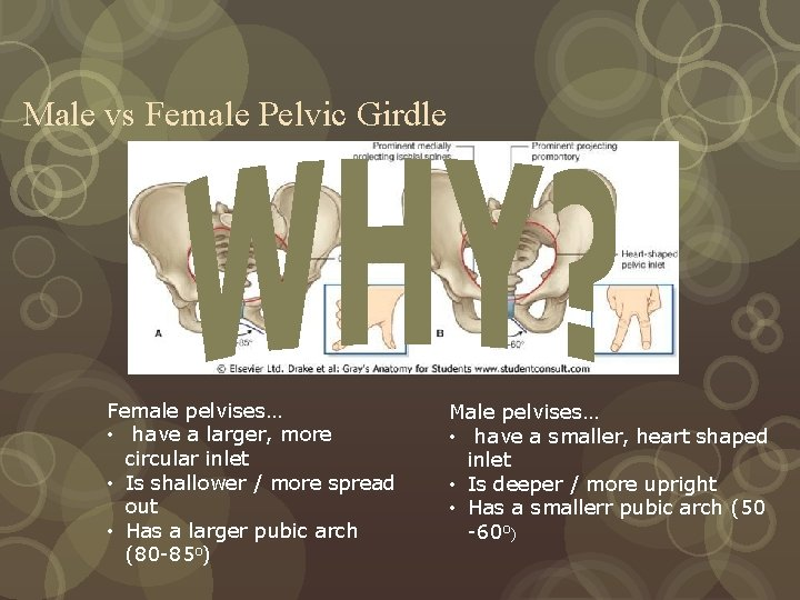 Male vs Female Pelvic Girdle Female pelvises… • have a larger, more circular inlet