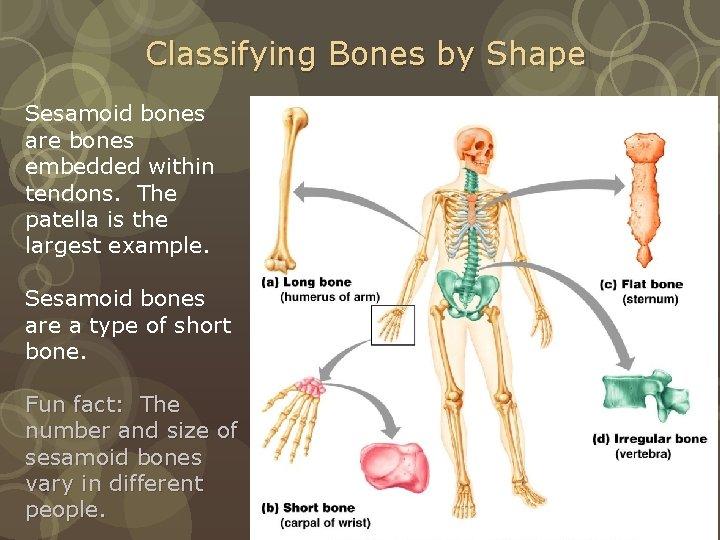 Classifying Bones by Shape Sesamoid bones are bones embedded within tendons. The patella is