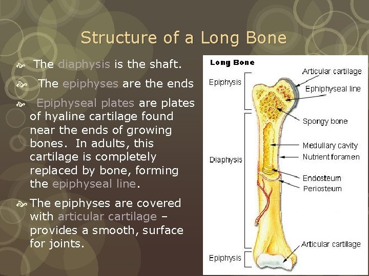 Structure of a Long Bone The diaphysis is the shaft. The epiphyses are the