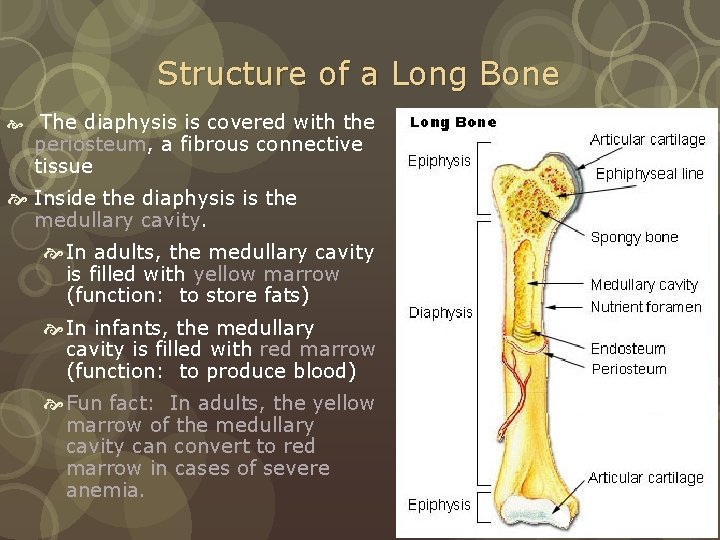 Structure of a Long Bone The diaphysis is covered with the periosteum, a fibrous