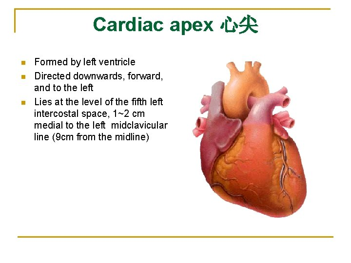 Cardiac apex 心尖 n n n Formed by left ventricle Directed downwards, forward, and
