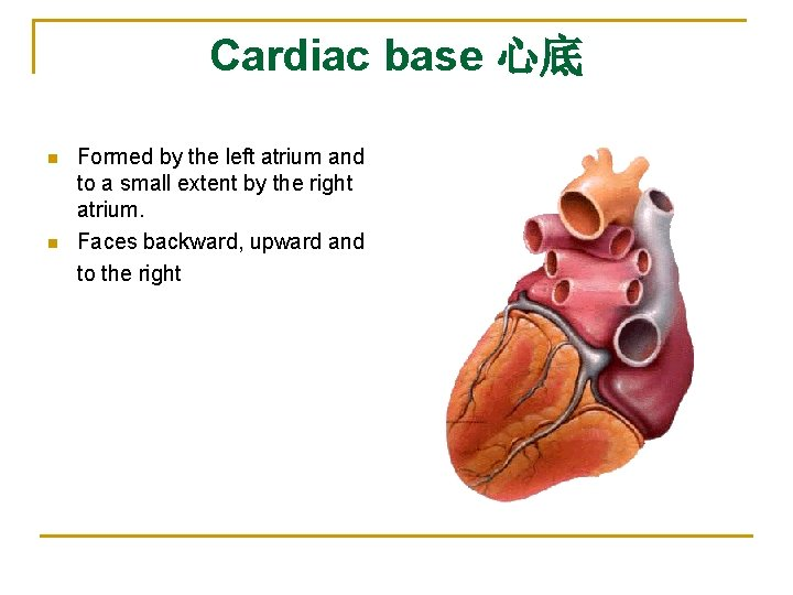 Cardiac base 心底 n n Formed by the left atrium and to a small
