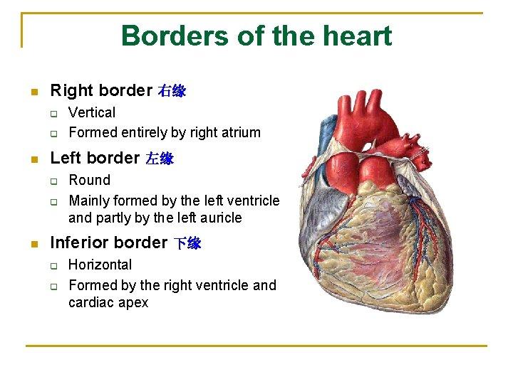 Borders of the heart n Right border 右缘 q q n Left border 左缘