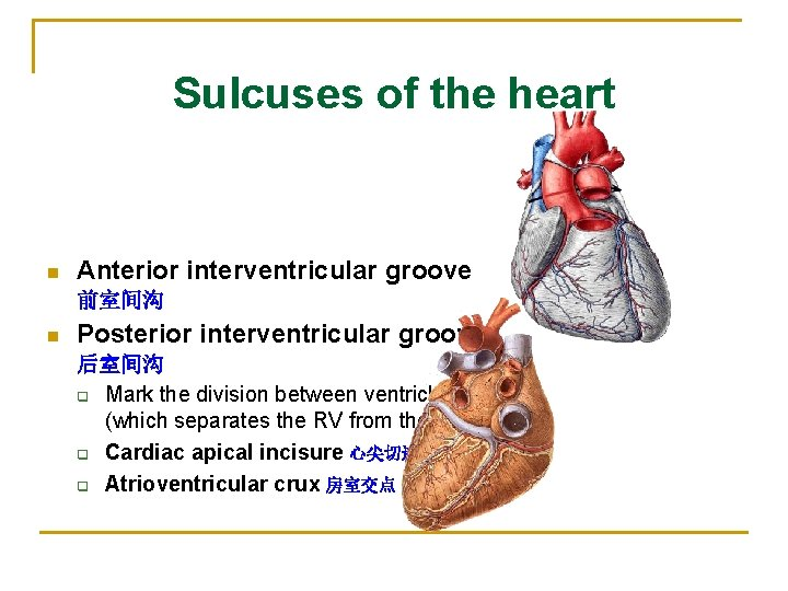 Sulcuses of the heart n Anterior interventricular groove 前室间沟 n Posterior interventricular groove 后室间沟