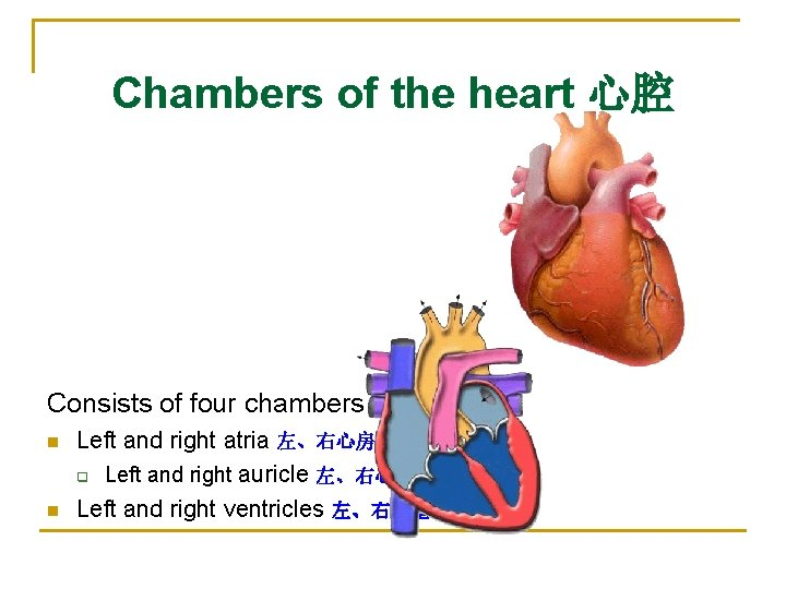 Chambers of the heart 心腔 Consists of four chambers n n Left and right