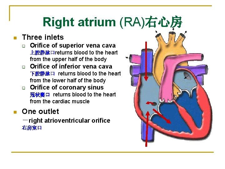 Right atrium (RA)右心房 n Three inlets q Orifice of superior vena cava 上腔静脉口returns blood