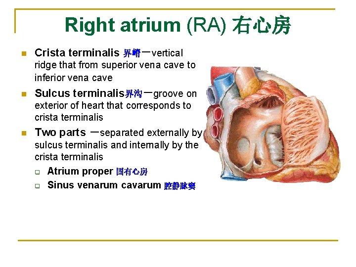 Right atrium (RA) 右心房 n Crista terminalis 界嵴-vertical ridge that from superior vena cave