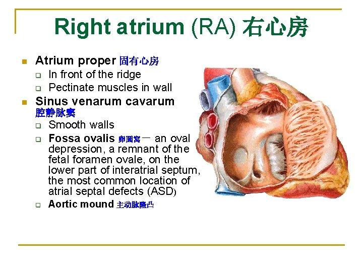 Right atrium (RA) 右心房 n Atrium proper 固有心房 q q n In front of
