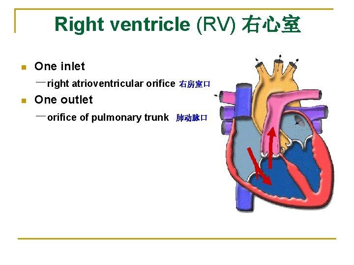 Right ventricle (RV) 右心室    n One inlet n -right atrioventricular orifice 右房室口 One