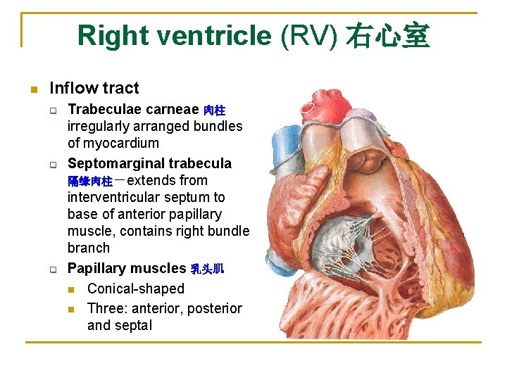 Right ventricle (RV) 右心室 n Inflow tract q q q Trabeculae carneae 肉柱 irregularly