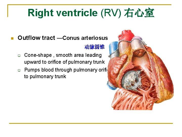 Right ventricle (RV) 右心室 n Outflow tract —Conus arteriosus       动脉圆锥 q q Cone-shape ,