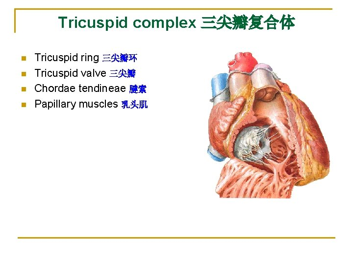 Tricuspid complex 三尖瓣复合体 n n Tricuspid ring 三尖瓣环 Tricuspid valve 三尖瓣 Chordae tendineae 腱索