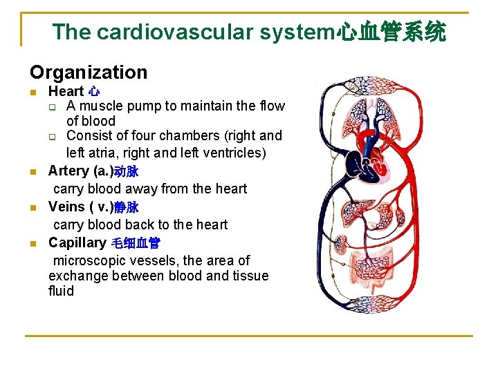 The cardiovascular system心血管系统 Organization n n Heart 心 q A muscle pump to maintain