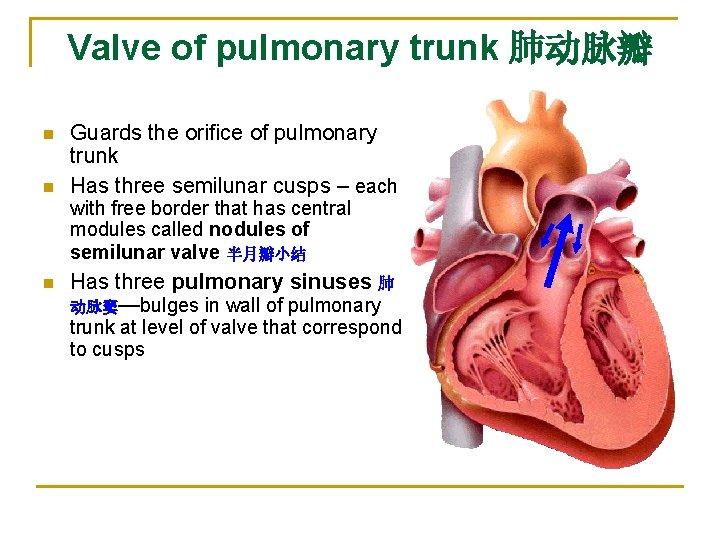Valve of pulmonary trunk 肺动脉瓣 n n Guards the orifice of pulmonary trunk Has