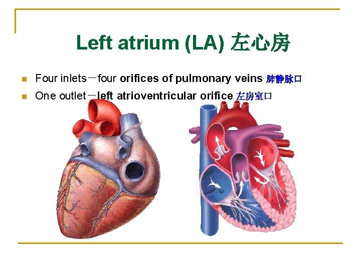 Left atrium (LA) 左心房 n Four inlets-four orifices of pulmonary veins 肺静脉口 n One