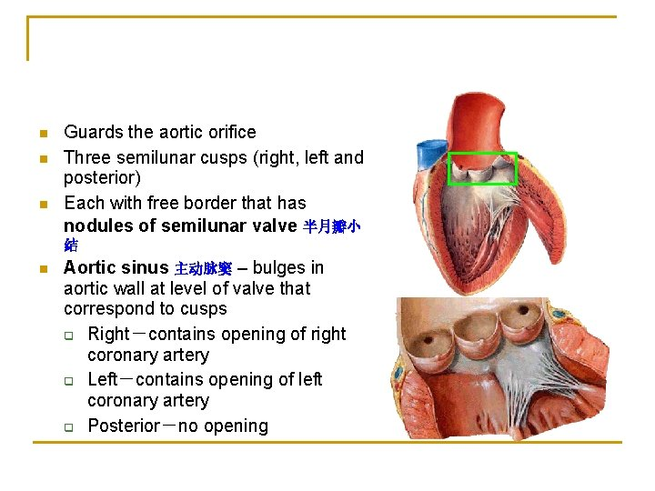 n n n Guards the aortic orifice Three semilunar cusps (right, left and posterior)