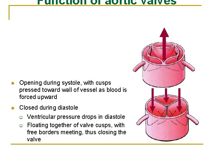 Function of aortic valves n Opening during systole, with cusps pressed toward wall of
