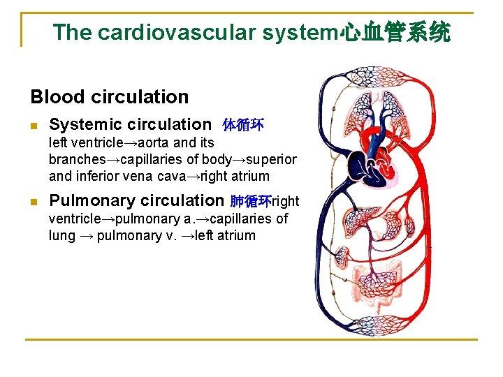 The cardiovascular system心血管系统 Blood circulation n Systemic circulation 体循环 left ventricle→aorta and its branches→capillaries