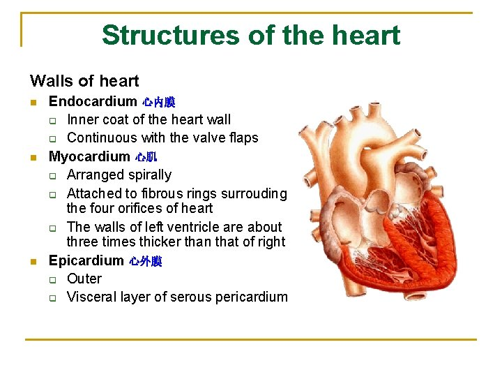 Structures of the heart Walls of heart n n n Endocardium 心内膜 q Inner