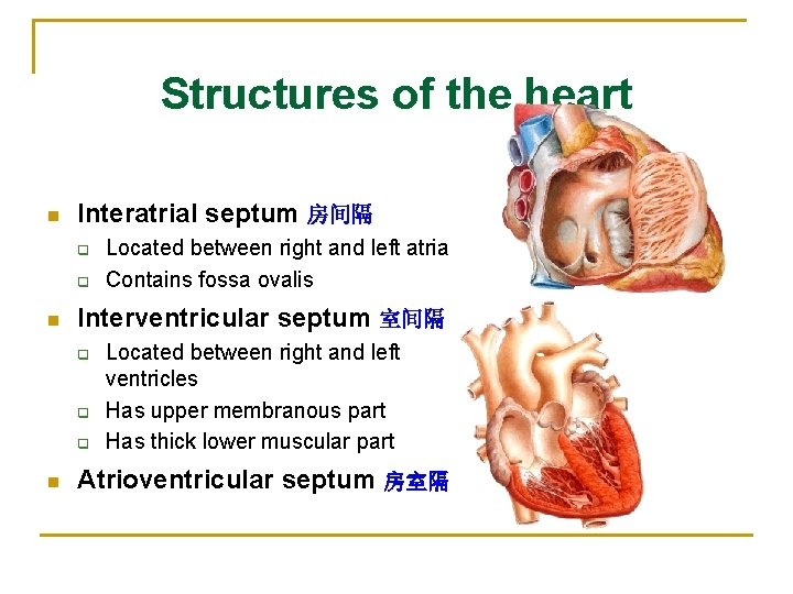 Structures of the heart n Interatrial septum 房间隔 q q n Interventricular septum 室间隔