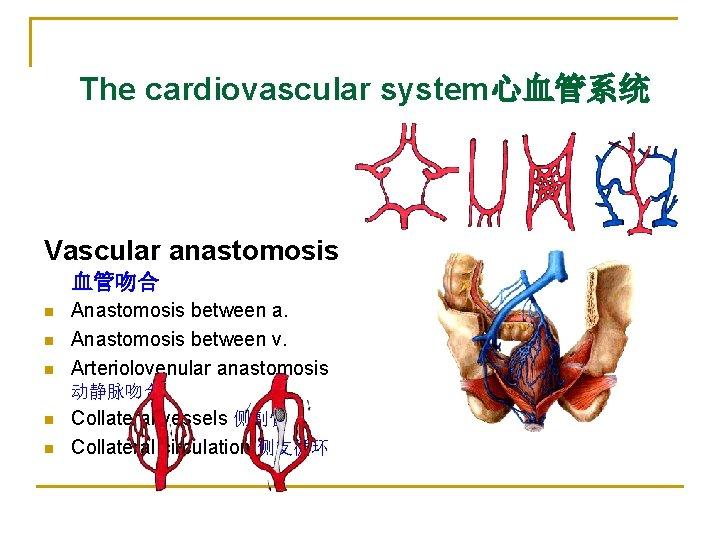 The cardiovascular system心血管系统 Vascular anastomosis 血管吻合 n n n Anastomosis between a. Anastomosis between