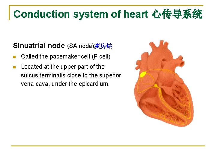 Conduction system of heart 心传导系统 Sinuatrial node (SA node)窦房结 n Called the pacemaker cell