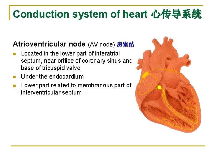 Conduction system of heart 心传导系统 Atrioventricular node (AV node) 房室结 n n n Located