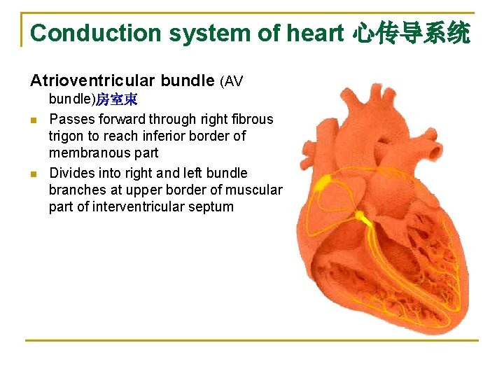 Conduction system of heart 心传导系统 Atrioventricular bundle (AV n n bundle)房室束 Passes forward through