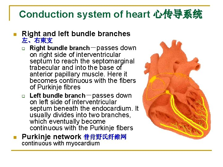 Conduction system of heart 心传导系统 n Right and left bundle branches 左、右束支 q Right