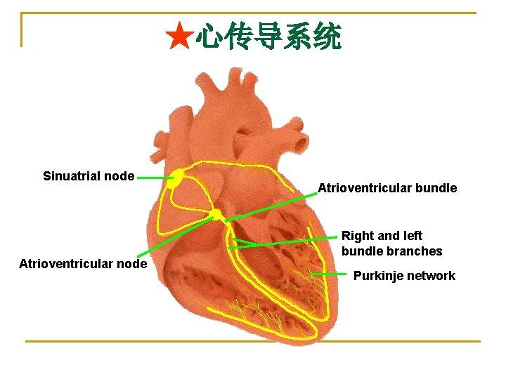 ★心传导系统 Sinuatrial node Atrioventricular bundle Right and left bundle branches Purkinje network