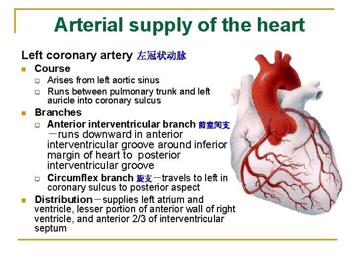 Arterial supply of the heart Left coronary artery 左冠状动脉 n Course q q n