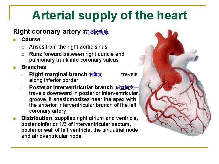 Arterial supply of the heart Right coronary artery 右冠状动脉 n n n Course q