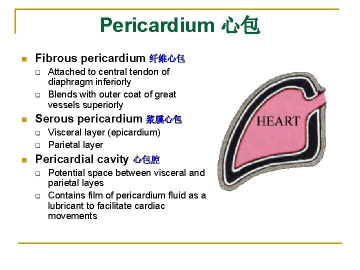 Pericardium 心包 n Fibrous pericardium 纤维心包 q q n Serous pericardium 浆膜心包 q q