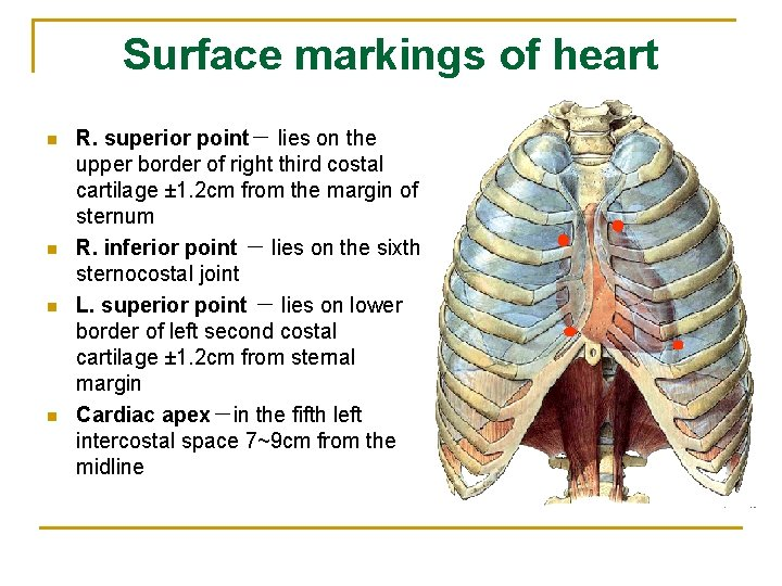 Surface markings of heart n n R. superior point- lies on the upper border