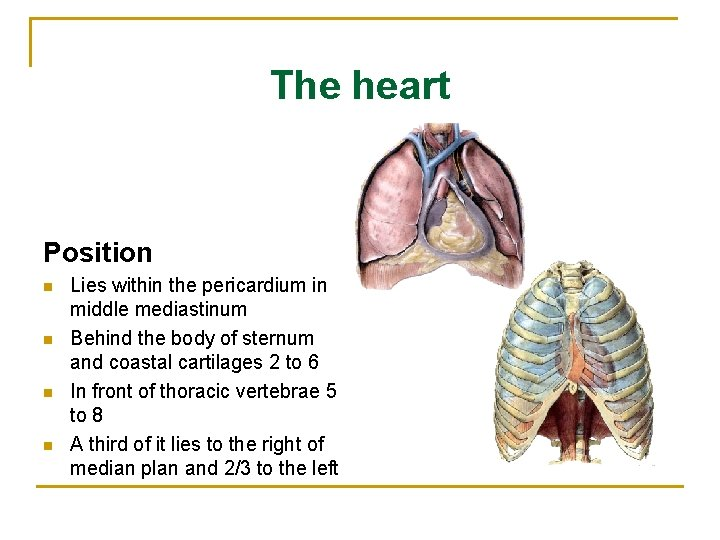 The heart Position n n Lies within the pericardium in middle mediastinum Behind the