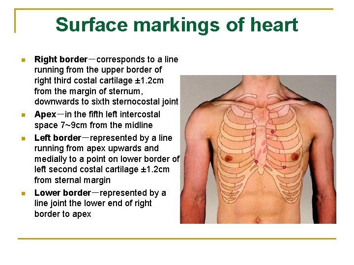Surface markings of heart n n Right border-corresponds to a line running from the