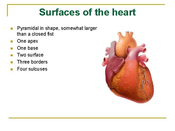 Surfaces of the heart n n n Pyramidal in shape, somewhat larger than a