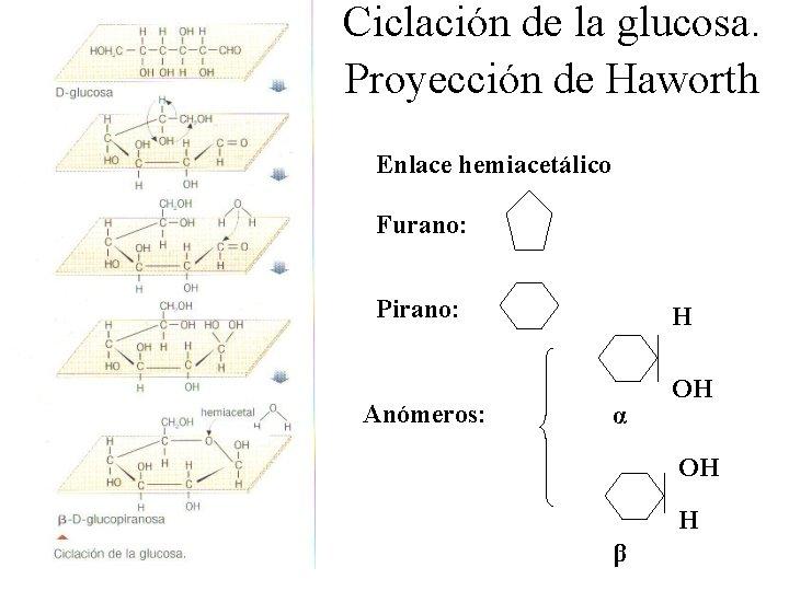 Ciclación de la glucosa. Proyección de Haworth Enlace hemiacetálico Furano: Pirano: Anómeros: H α