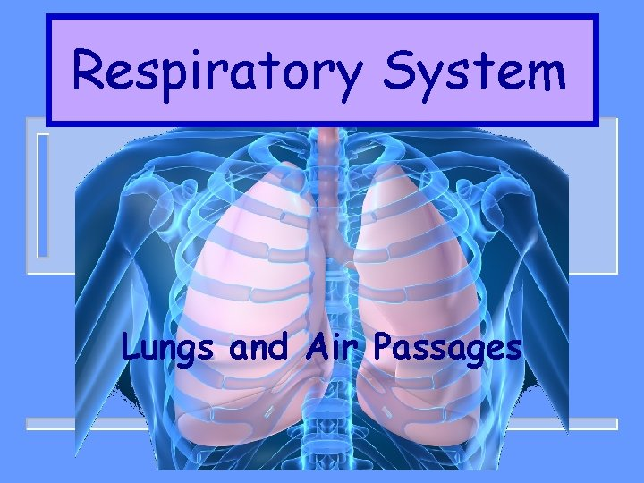 Respiratory System Lungs and Air Passages