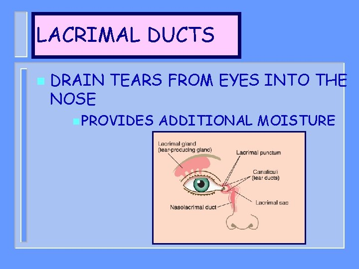 LACRIMAL DUCTS n DRAIN TEARS FROM EYES INTO THE NOSE n PROVIDES ADDITIONAL MOISTURE