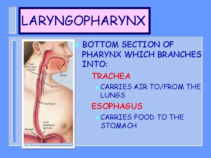 LARYNGOPHARYNX n BOTTOM SECTION OF PHARYNX WHICH BRANCHES INTO: – TRACHEA n CARRIES LUNGS