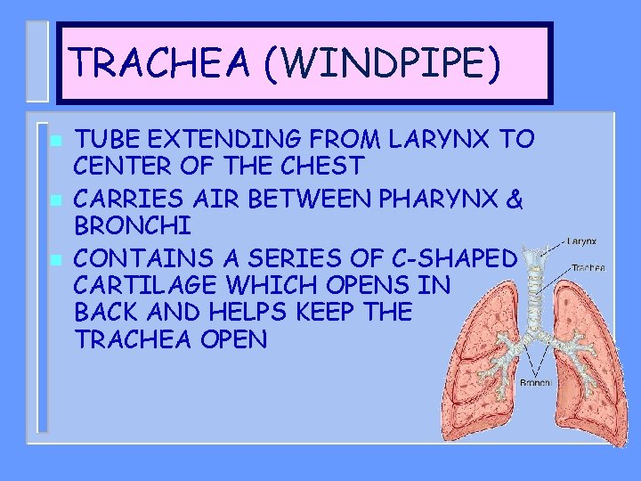 TRACHEA (WINDPIPE) n n n TUBE EXTENDING FROM LARYNX TO CENTER OF THE CHEST