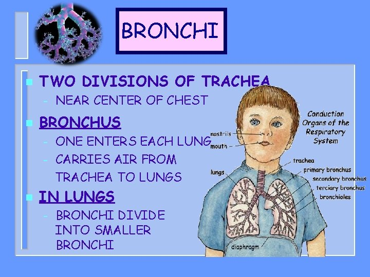 BRONCHI n TWO DIVISIONS OF TRACHEA – n BRONCHUS – – n NEAR CENTER